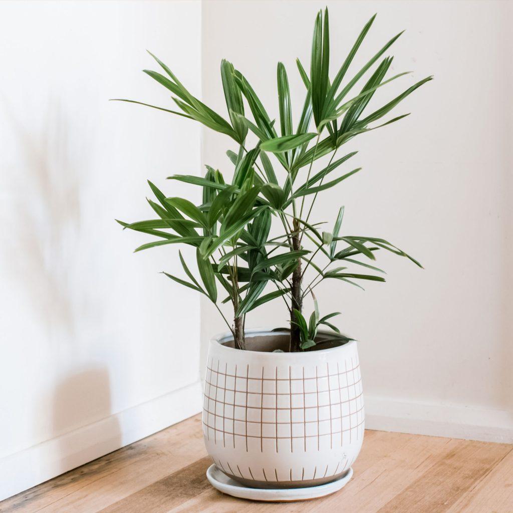 photo of lady palm